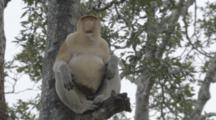 Proboscis Monkey Rests In Tree In Borneo Jungle
