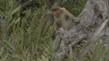 Proboscis Monkey Holds Tiny Baby In Borneo Jungle