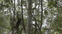 Assamese Macaques Climb In Forest