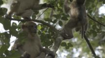 Assamese Macaques Climb, Play In Forest