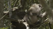 Assamese Macaques In Forest
