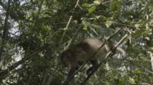 Assamese Macaque Climbs In Forest