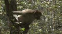 Assamese Macaque Rests In Tree