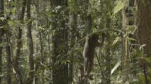 Assamese Macaque Hangs From Branch In Forest, Falls Off