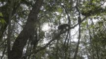 Assamese Macaques Walk On Branches In Forest