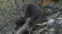 Assamese Macaques Play In Forest