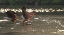 Brahminy Kites Hunt, Grab Fish From Water Near Mangroves