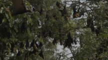 Lyles Flying Foxes, Fruit Bats Hang In Tree At Sunset
