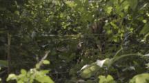 Clouded Leopard Rolls Around In Jungle