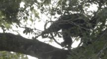 Siamang Climbs  In Jungle