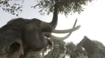 Elephant With Large Tusks Pulls On Tree At Temple