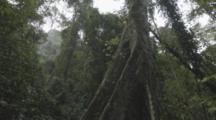Crane Dolly Shot Moving Down False Hemp Or Sompong Tree