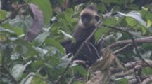 Ha Tinh Langurs In Tree