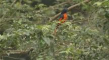 Scarlet Minivet Bird Flies To Upper Branch