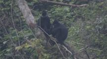 Ha Tinh Langurs Rest And Play In Jungle
