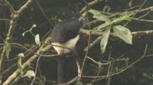 Delacours Langur Rests In Tree