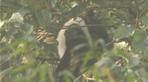 Delacours Langur Climbs In Tree