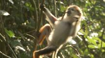 Close Up Baby Red-shanked Douc Langur Climbing Vines