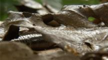 Giant Earthworm Crawls On Forest Floor, Leaf Litter