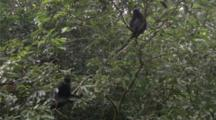 Hatinh Or Francois Langurs In Tree