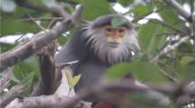 Red-Shanked Douc Langur In Tree