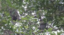 Red-Shanked Douc Langurs Feed High In Tree
