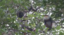 Red-Shanked Douc Langurs High In Tree