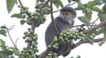 Red-Shanked Douc Langur Rests In Tree surrounded by fruit