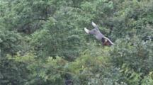 Red-Shanked Douc Langur Jumps In Forest