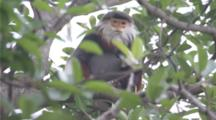 Red-Shanked Douc Langur Sits In Tree