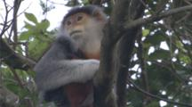 Red-Shanked Douc Langur Sits In Tree, Tilt Up Tail To Body