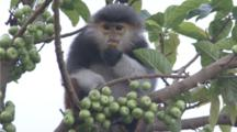 Red-shanked Douc Langurs feed and climb in tree