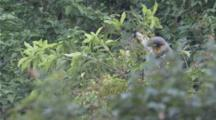 Red-shanked Douc Langurs high in tree, one jumps to the other