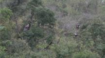 Red-shanked Douc Langurs rest high in trees