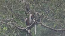 Red-shanked  Douc Langurs in forest