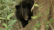 Asian Black Bear scratches on tree in forest
