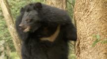 Asian Black Bear sits in tree