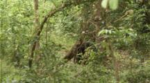 Asian Black Bear in forest