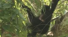 Golden-Cheeked Gibbons Play In Forest