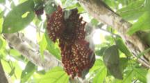 Aggregation Of Morpho Telemachus Caterpillars Hangs In Tree