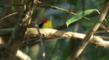 Male Wire-tailed Manakin On Branch In Rainforest