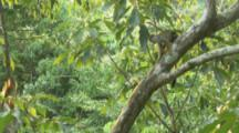 Squirrel Monkeys Climb In Trees Of Rainforest