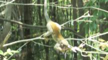 Squirrel Monkey Feeds On Flowers In Rainforest