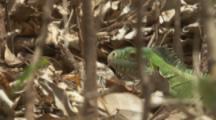 Lesser Antillean Iguana Walks On Forest Floor