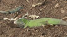 Iguana Digs Burrow On Forest Floor, Dominican Ground Lizard Behind