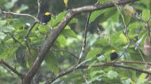 Pair Of Male Golden-Headed Manakin Birds On Branch In Rainforest