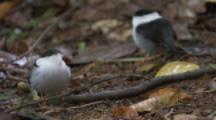 Male White-Bearded Manakin Birds On Forest Floor