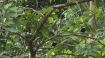 Three Male Golden-Headed Manakin Birds On Branch In Rainforest