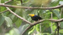 Male Golden-Headed Manakin Bird Displays On Branch In Rainforest