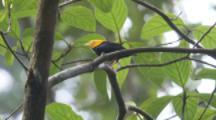 Male Golden-Headed Manakin Bird On Branch In Rainforest, Flies Away